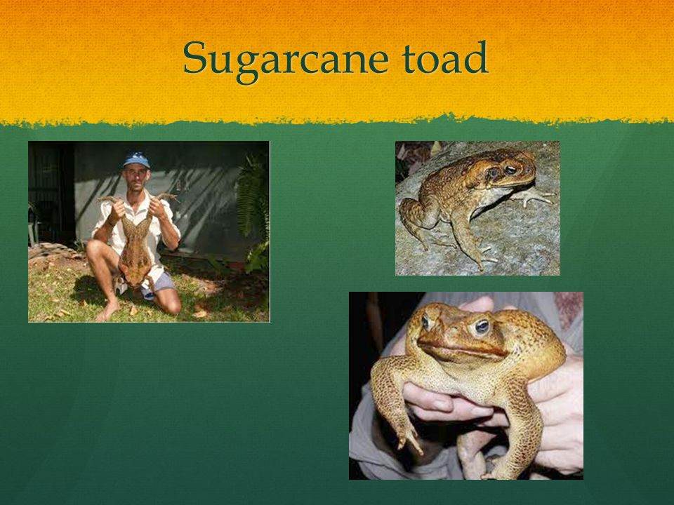 Sugarcane toad