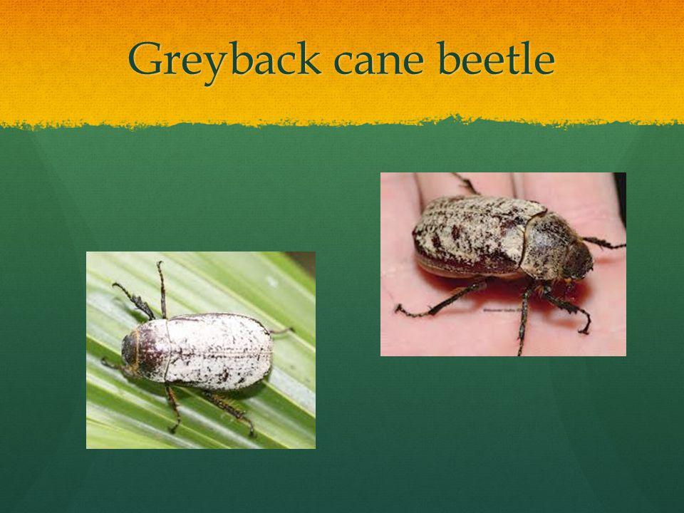 Greyback cane beetle