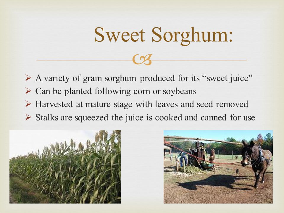   A variety of grain sorghum produced for its sweet juice  Can be planted following corn or soybeans  Harvested at mature stage with leaves and seed removed  Stalks are squeezed the juice is cooked and canned for use Sweet Sorghum: