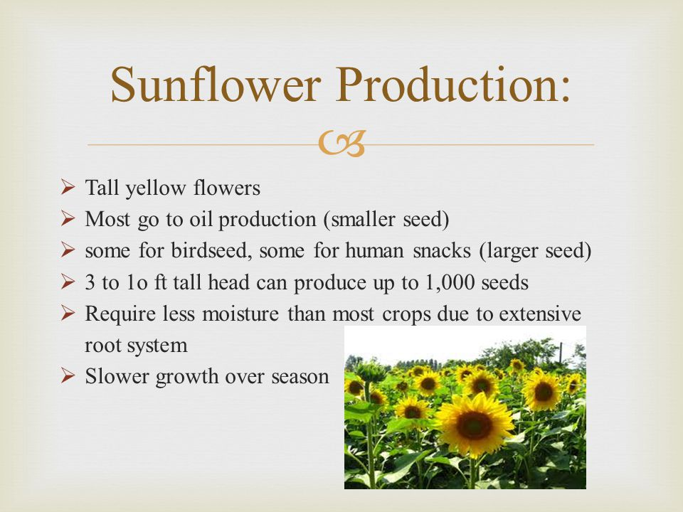   Tall yellow flowers  Most go to oil production (smaller seed)  some for birdseed, some for human snacks (larger seed)  3 to 1o ft tall head can produce up to 1,000 seeds  Require less moisture than most crops due to extensive root system  Slower growth over season Sunflower Production: