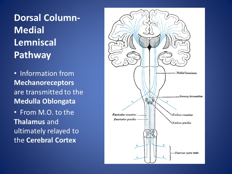 Dorsal Column- Medial Lemniscal Pathway Information from Mechanoreceptors are transmitted to the Medulla Oblongata From M.O.