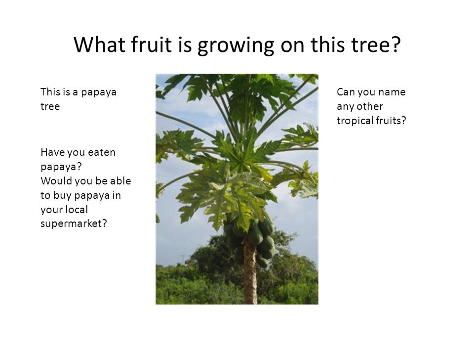 What fruit is growing on this tree. This is a papaya tree Have you eaten papaya.