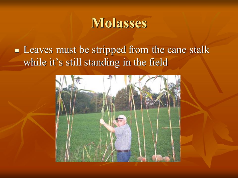 Molasses A cane stalk in the field ready for harvest A cane stalk in the field ready for harvest