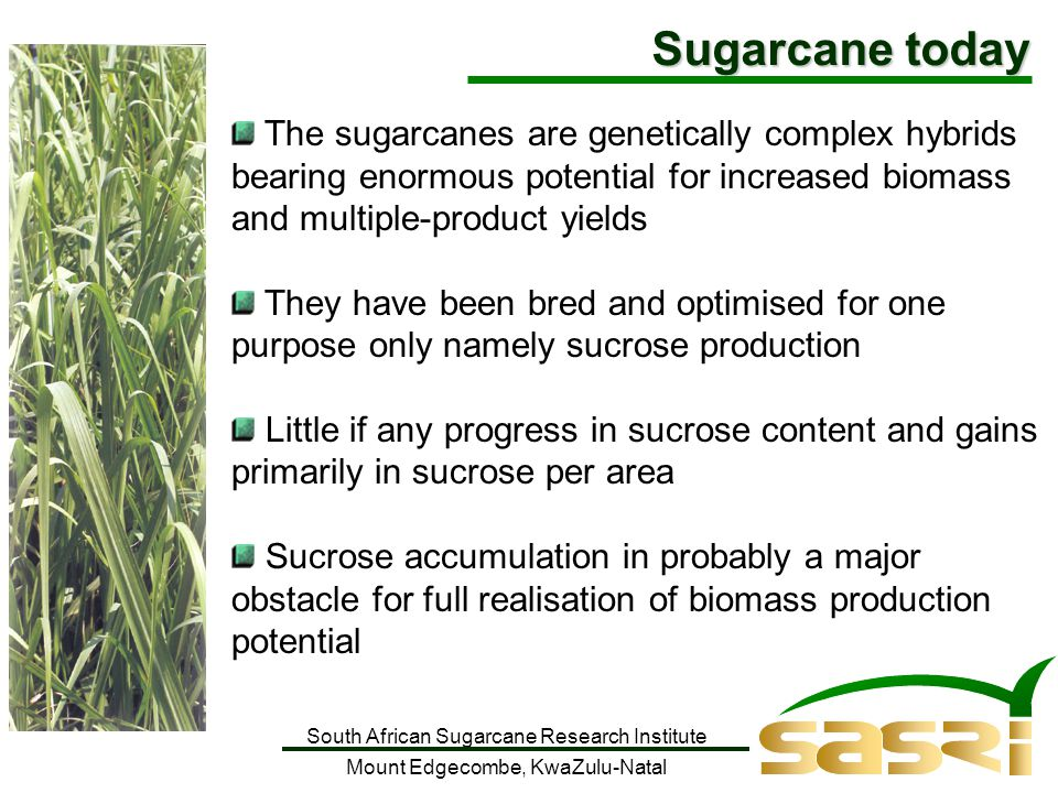 South African Sugarcane Research Institute Mount Edgecombe, KwaZulu-Natal The sugarcanes are genetically complex hybrids bearing enormous potential for increased biomass and multiple-product yields They have been bred and optimised for one purpose only namely sucrose production Little if any progress in sucrose content and gains primarily in sucrose per area Sucrose accumulation in probably a major obstacle for full realisation of biomass production potential Sugarcane today
