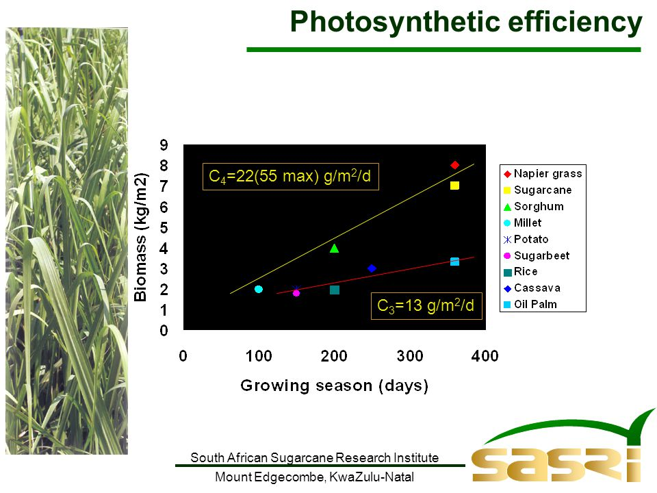 South African Sugarcane Research Institute Mount Edgecombe, KwaZulu-Natal C 4 =22(55 max) g/m 2 /d C 3 =13 g/m 2 /d Photosynthetic efficiency