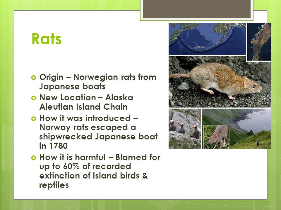 Rats  Origin – Norwegian rats from Japanese boats  New Location – Alaska Aleutian Island Chain  How it was introduced – Norway rats escaped a shipwrecked Japanese boat in 1780  How it is harmful – Blamed for up to 60% of recorded extinction of Island birds & reptiles