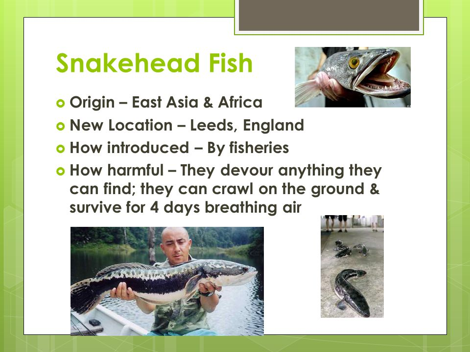 Snakehead Fish  Origin – East Asia & Africa  New Location – Leeds, England  How introduced – By fisheries  How harmful – They devour anything they can find; they can crawl on the ground & survive for 4 days breathing air
