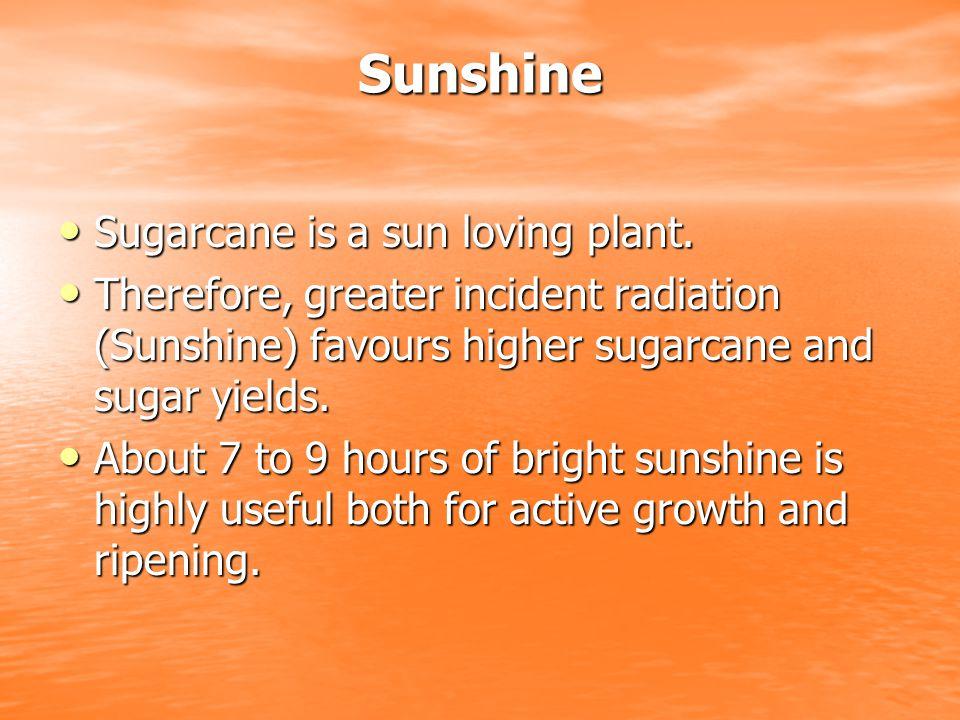 Sunshine Sugarcane is a sun loving plant.Sugarcane is a sun loving plant.