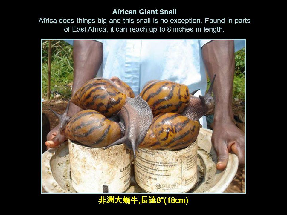 非洲大蝸牛, 長達 8 (18cm) African Giant Snail Africa does things big and this snail is no exception.