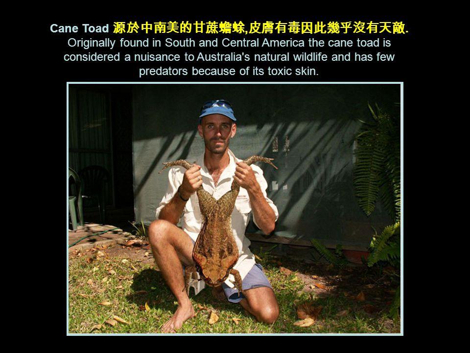 Cane Toad 源於中南美的甘蔗蟾蜍, 皮膚有毒因此幾乎沒有天敵.