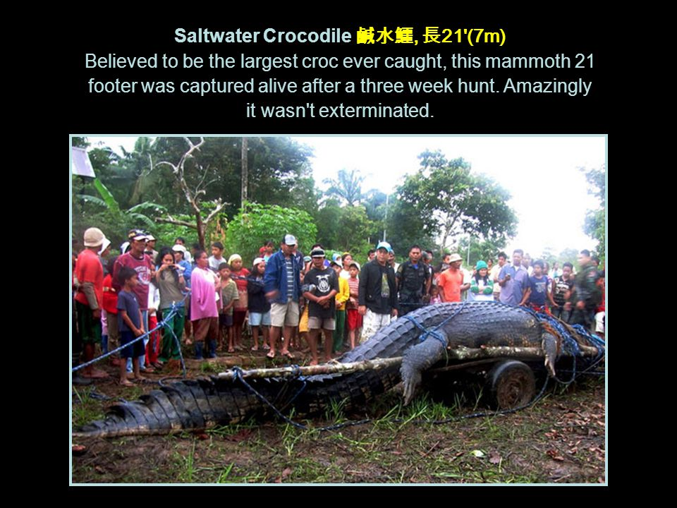 Saltwater Crocodile 鹹水鱷, 長 21 (7m) Believed to be the largest croc ever caught, this mammoth 21 footer was captured alive after a three week hunt.