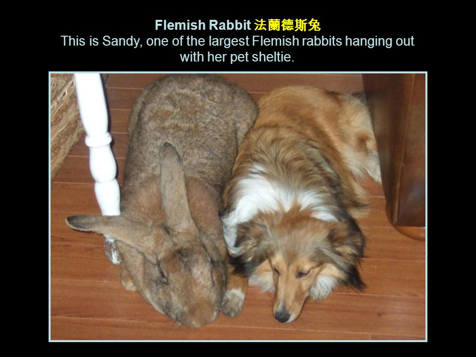Flemish Rabbit 法蘭德斯兔 This is Sandy, one of the largest Flemish rabbits hanging out with her pet sheltie.
