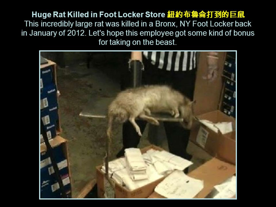Huge Rat Killed in Foot Locker Store 紐約布魯侖打到的巨鼠 This incredibly large rat was killed in a Bronx, NY Foot Locker back in January of 2012.