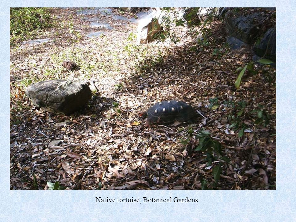 Native tortoise, Botanical Gardens