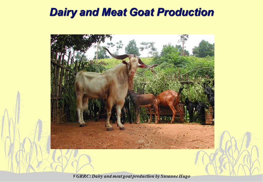 VGRRC: Dairy and meat goat production by Susanne Hugo Dairy and Meat Goat Production