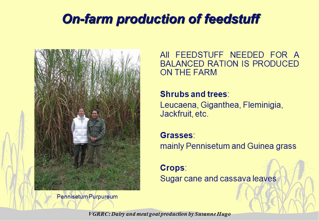 VGRRC: Dairy and meat goat production by Susanne Hugo On-farm production of feedstuff All FEEDSTUFF NEEDED FOR A BALANCED RATION IS PRODUCED ON THE FARM Shrubs and trees: Leucaena, Giganthea, Fleminigia, Jackfruit, etc.