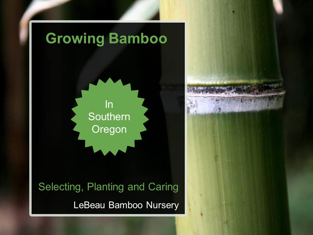 Growing Bamboo Selecting, Planting and Caring LeBeau Bamboo Nursery In Southern Oregon