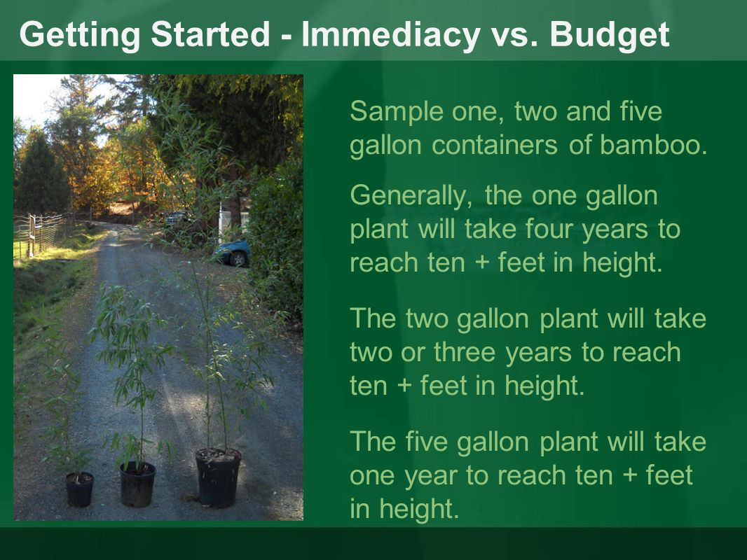 Getting Started - Immediacy vs. Budget Sample one, two and five gallon containers of bamboo. Generally, the one gallon plant will take four years to r