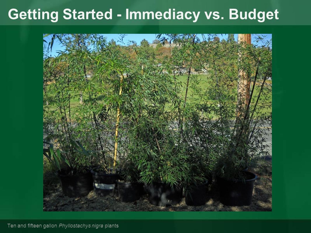 Getting Started - Immediacy vs. Budget Ten and fifteen gallon Phyllostachys nigra plants