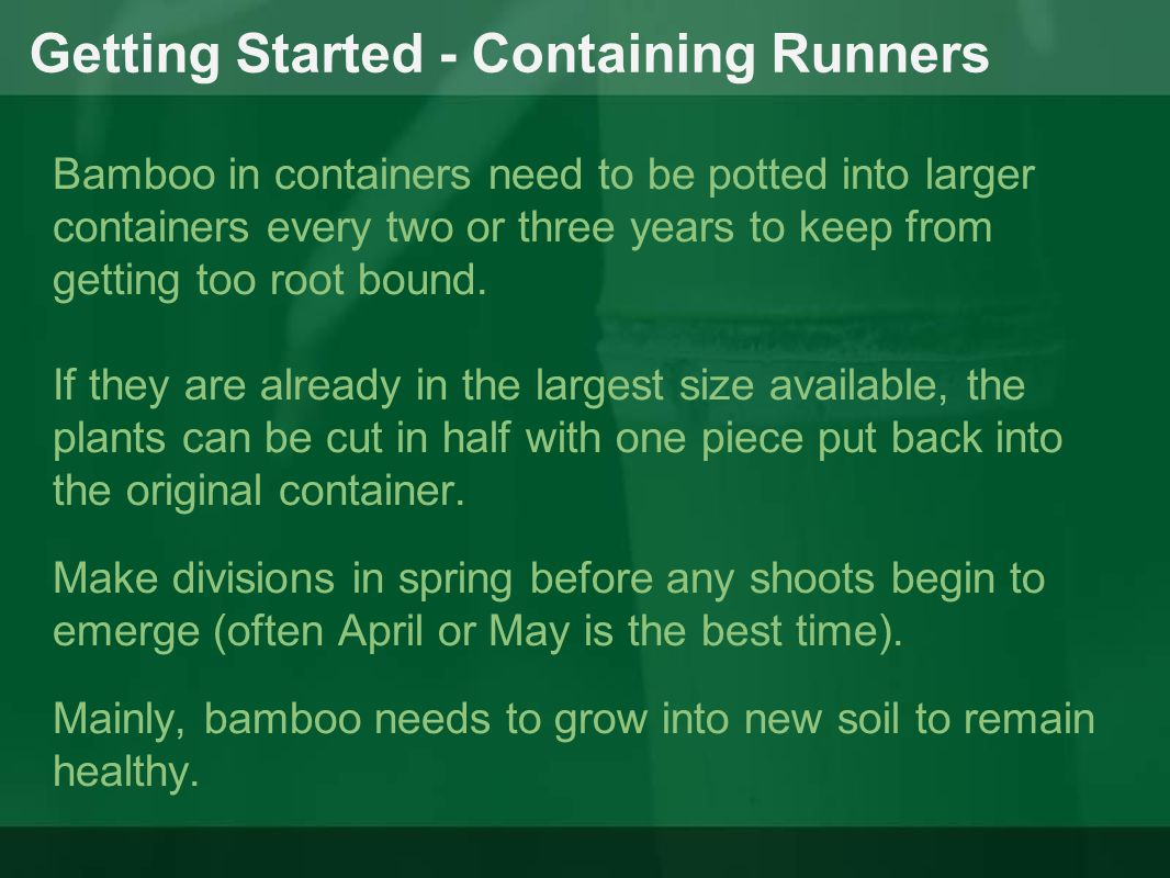 Getting Started - Containing Runners Bamboo in containers need to be potted into larger containers every two or three years to keep from getting too r