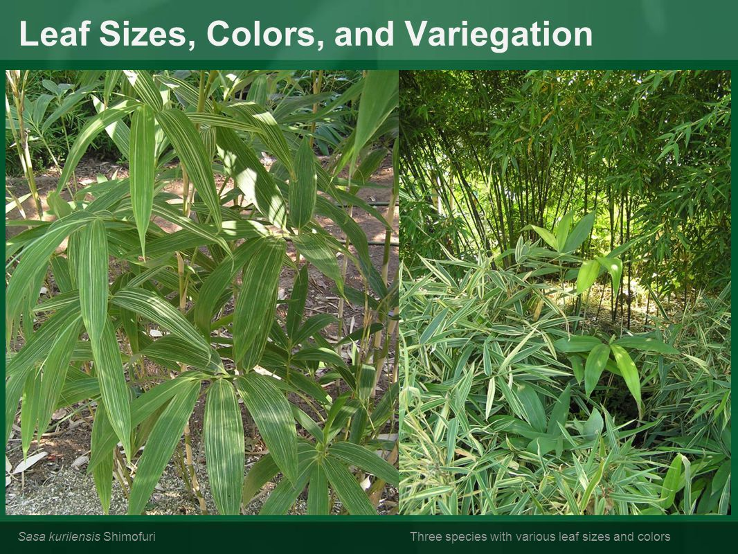 Leaf Sizes, Colors, and Variegation Sasa kurilensis ShimofuriThree species with various leaf sizes and colors