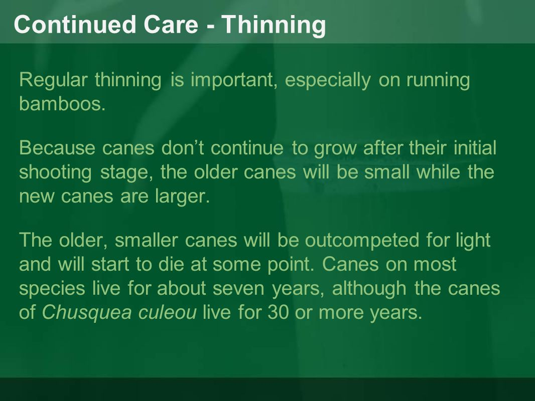 Continued Care - Thinning Regular thinning is important, especially on running bamboos. Because canes don't continue to grow after their initial shoot