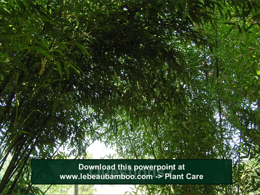 Questions? Download this powerpoint at www.lebeaubamboo.com -> Plant Care