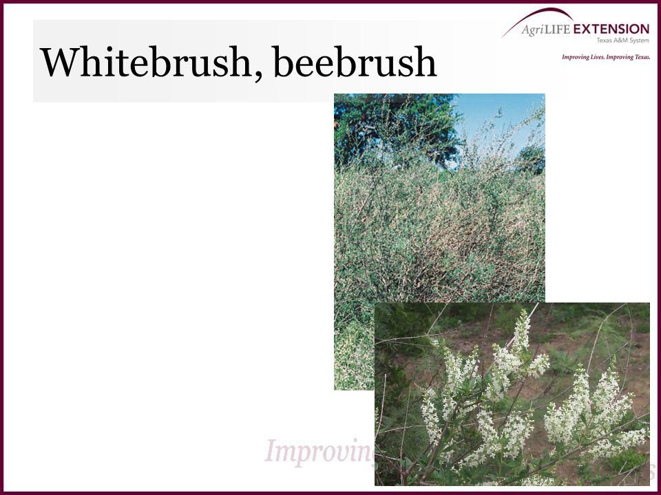 Whitebrush, beebrush