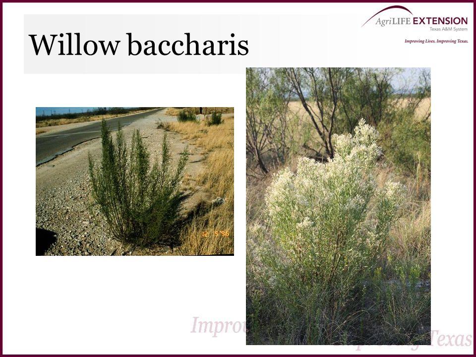 Willow baccharis