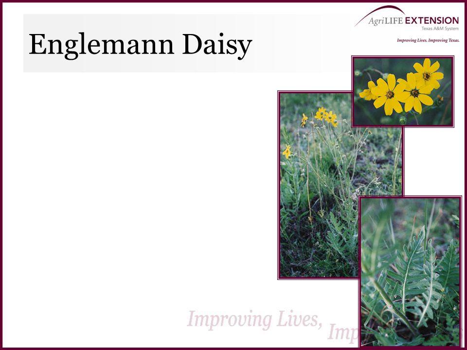 Englemann Daisy