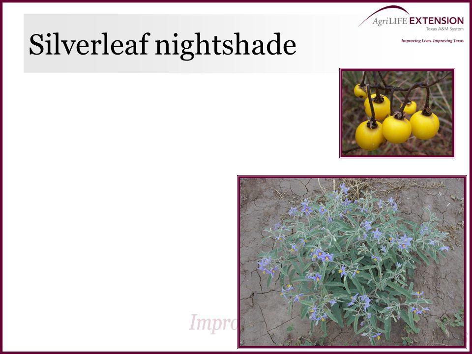 Silverleaf nightshade