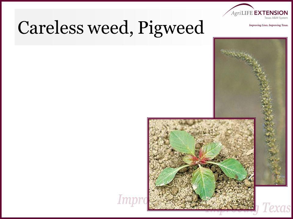 Careless weed, Pigweed