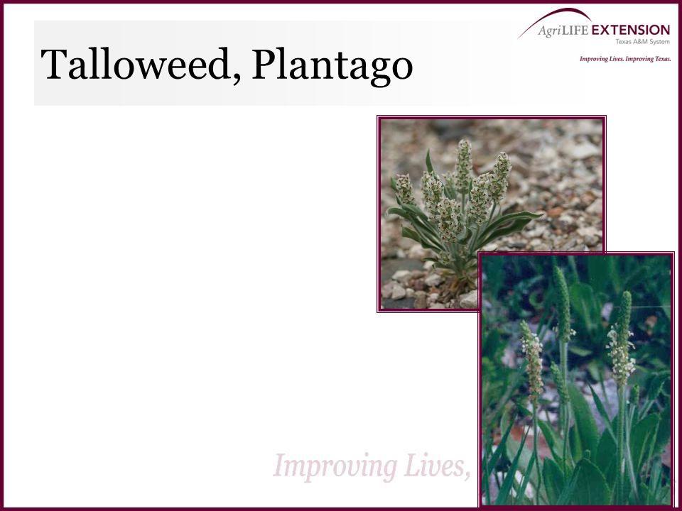 Talloweed, Plantago