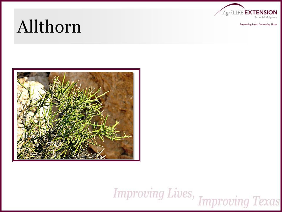 Allthorn