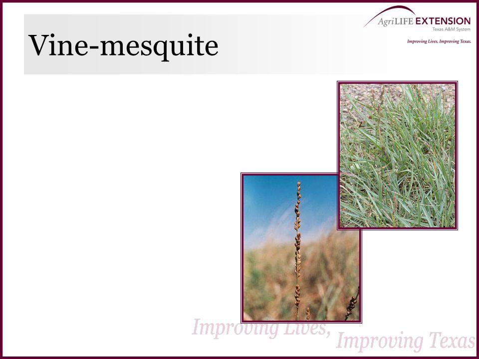 Vine-mesquite
