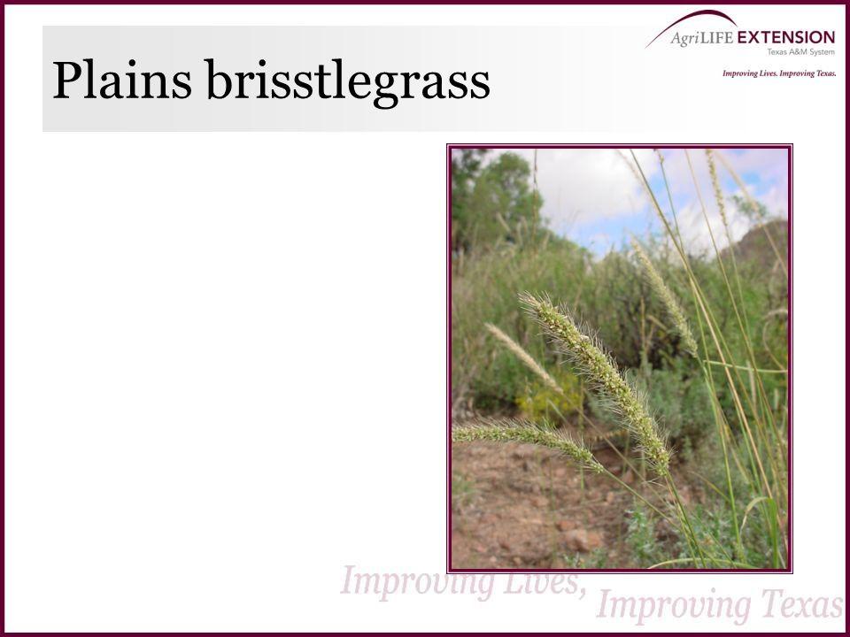 Plains brisstlegrass