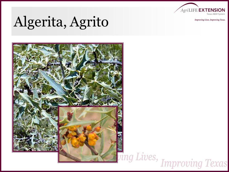 Algerita, Agrito