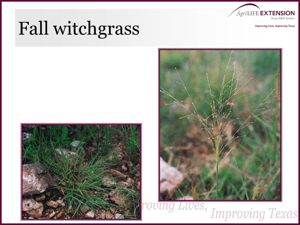Fall witchgrass