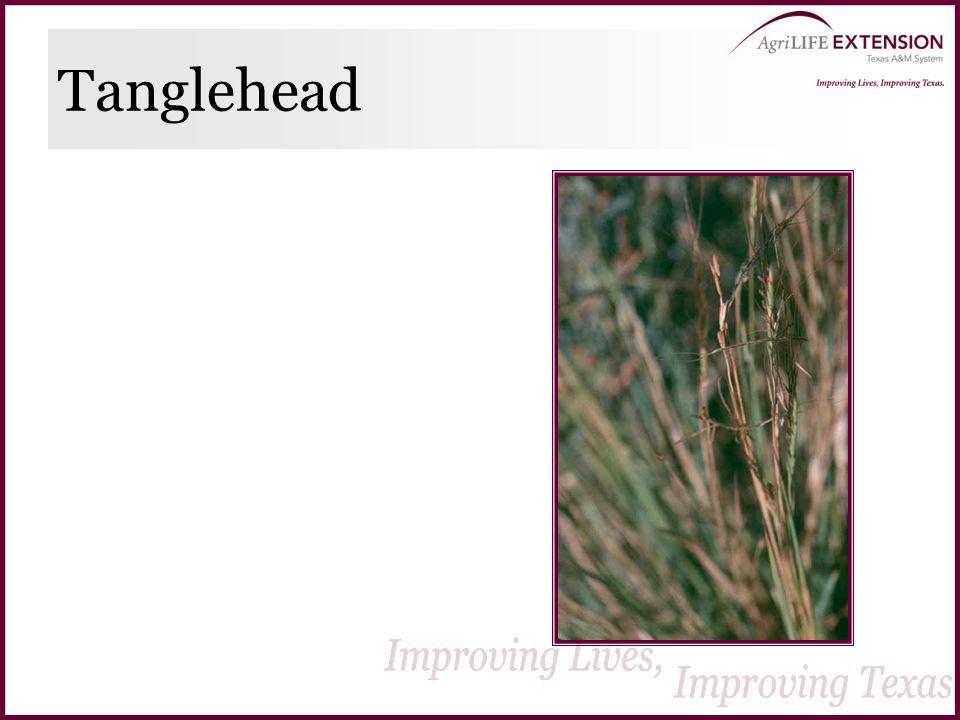 Tanglehead