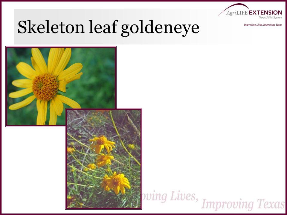 Skeleton leaf goldeneye
