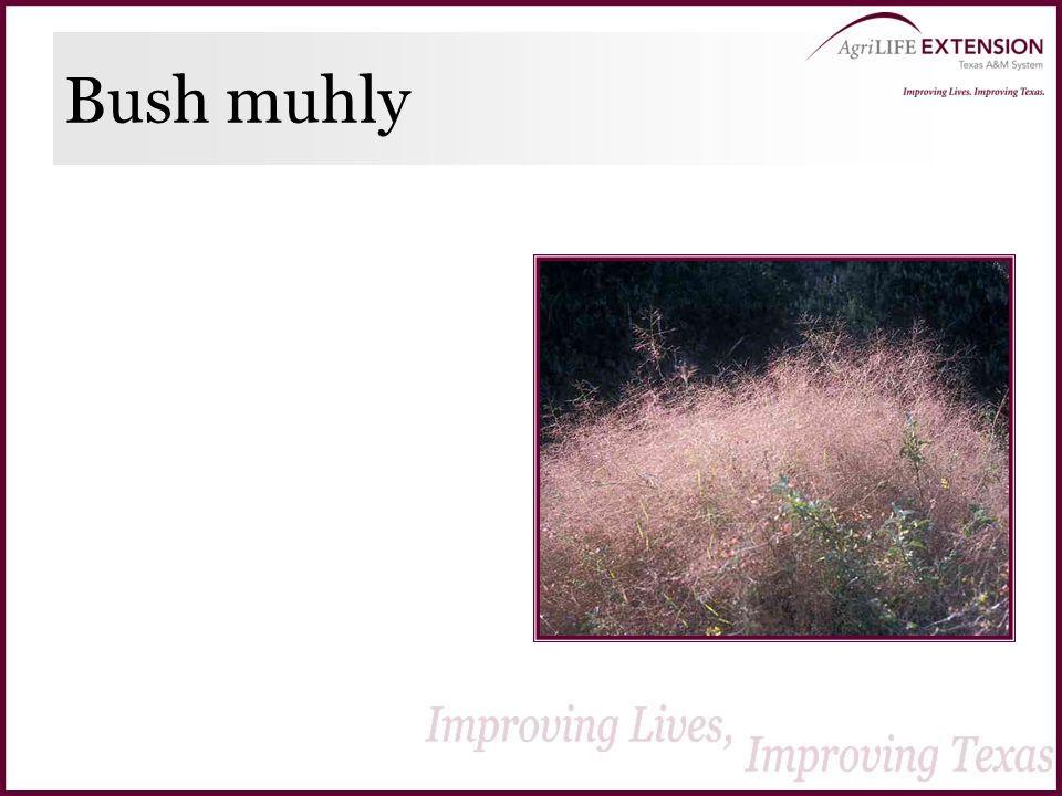 Bush muhly