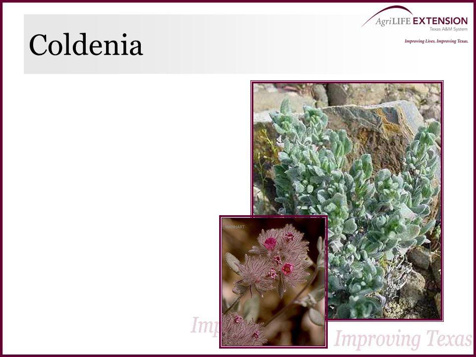 Coldenia