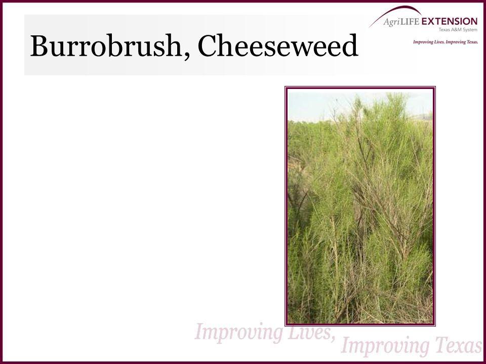 Burrobrush, Cheeseweed