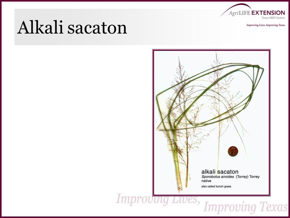 Alkali sacaton