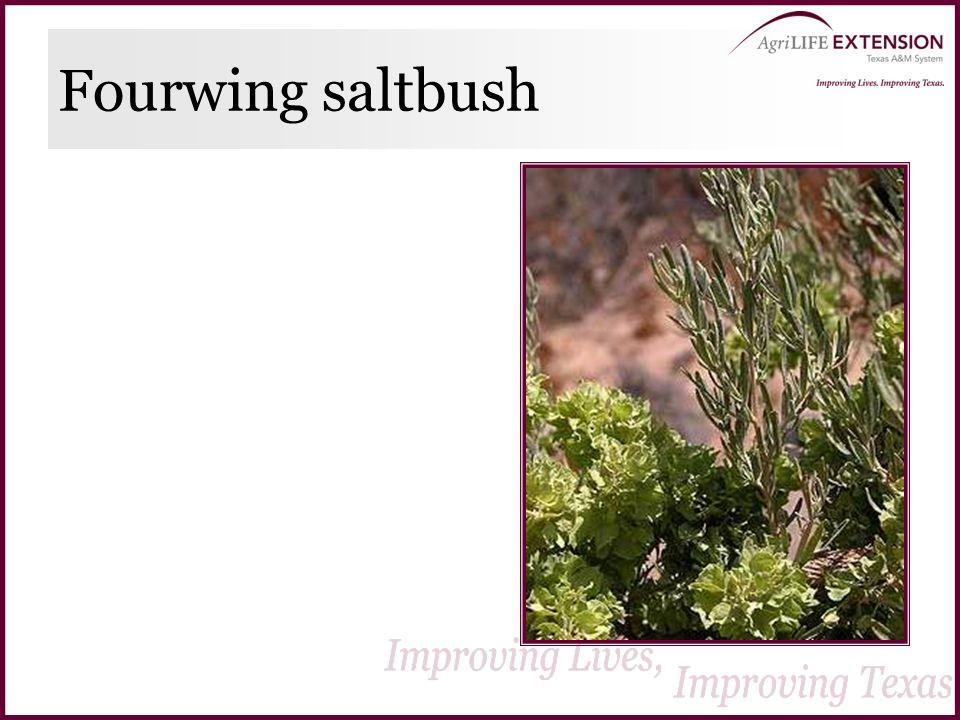 Fourwing saltbush