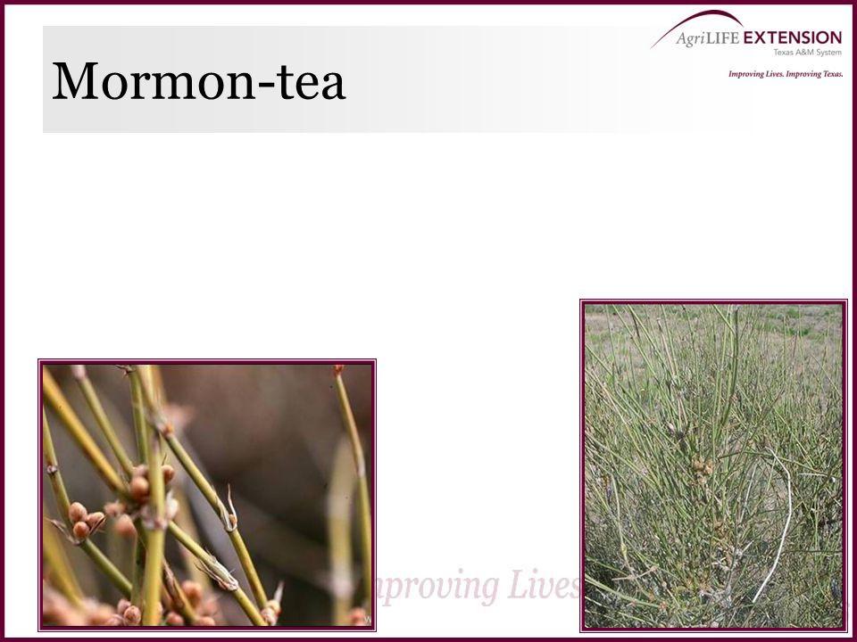 Mormon-tea