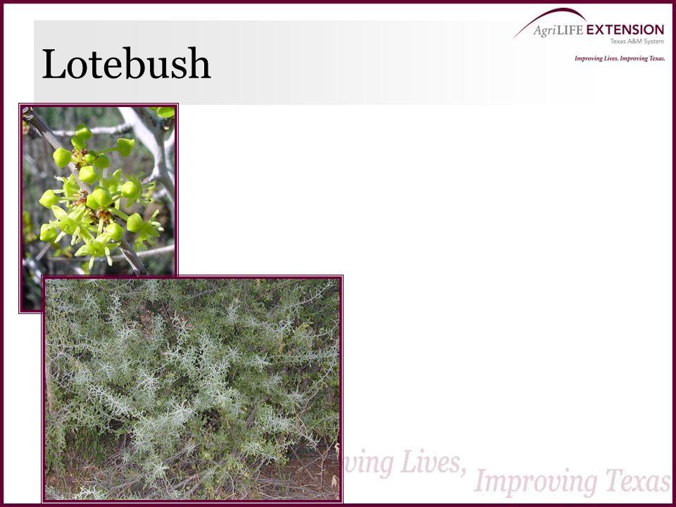 Lotebush