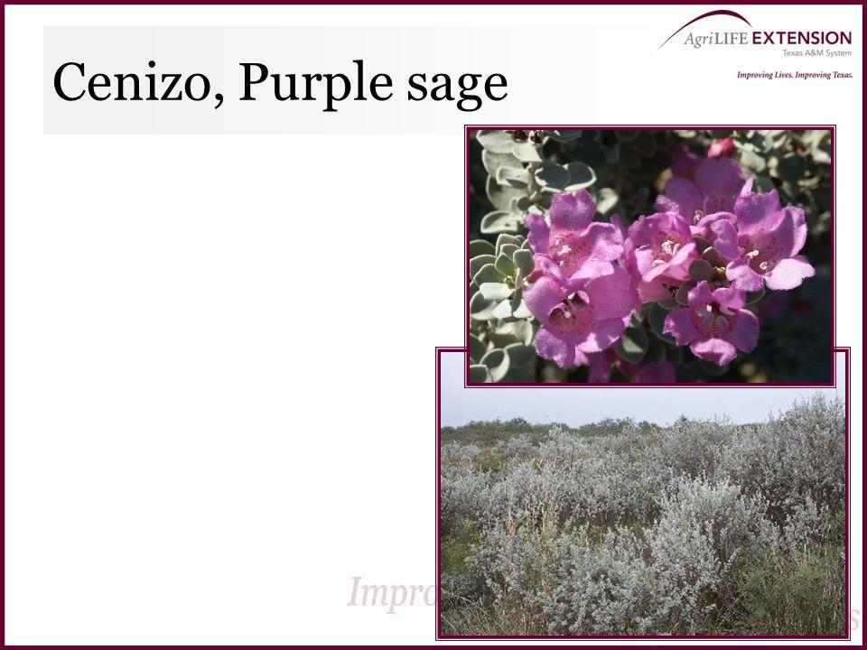 Cenizo, Purple sage