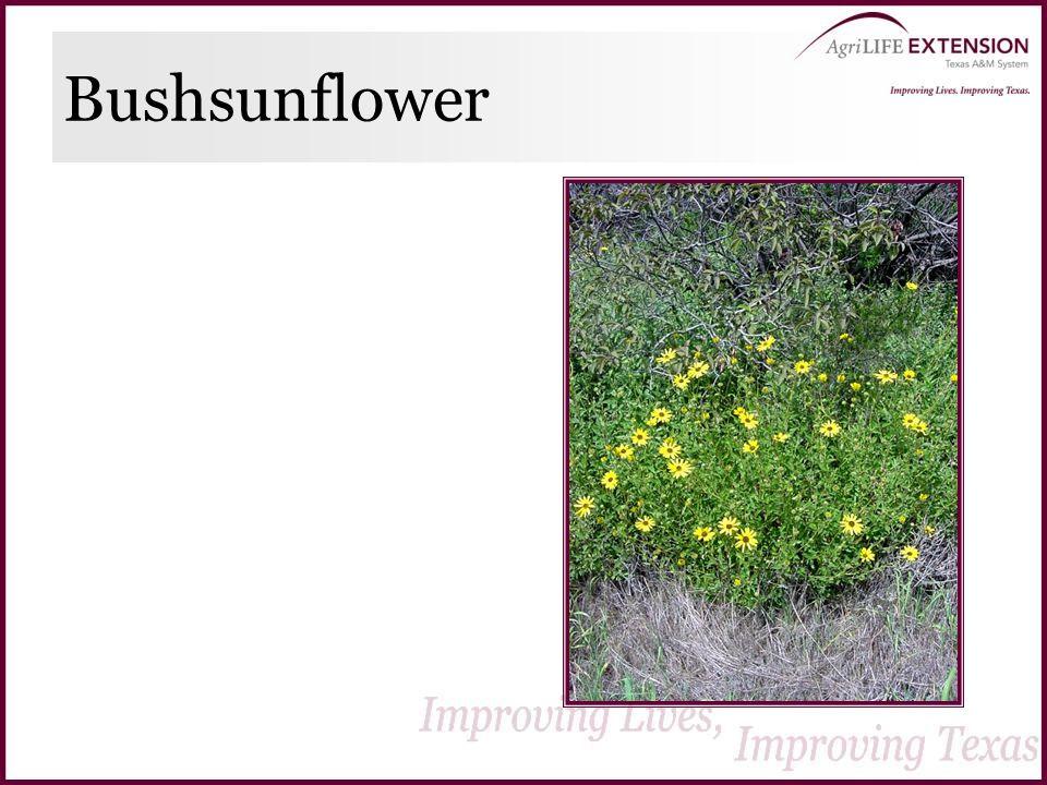 Bushsunflower