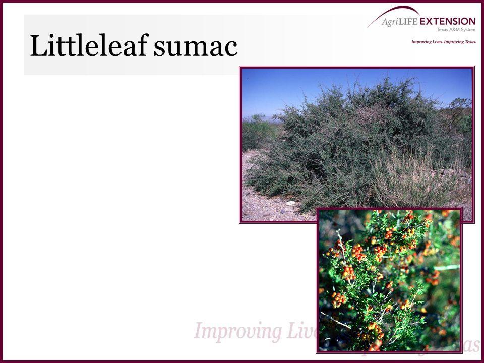 Littleleaf sumac